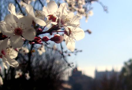 Almendros en flor